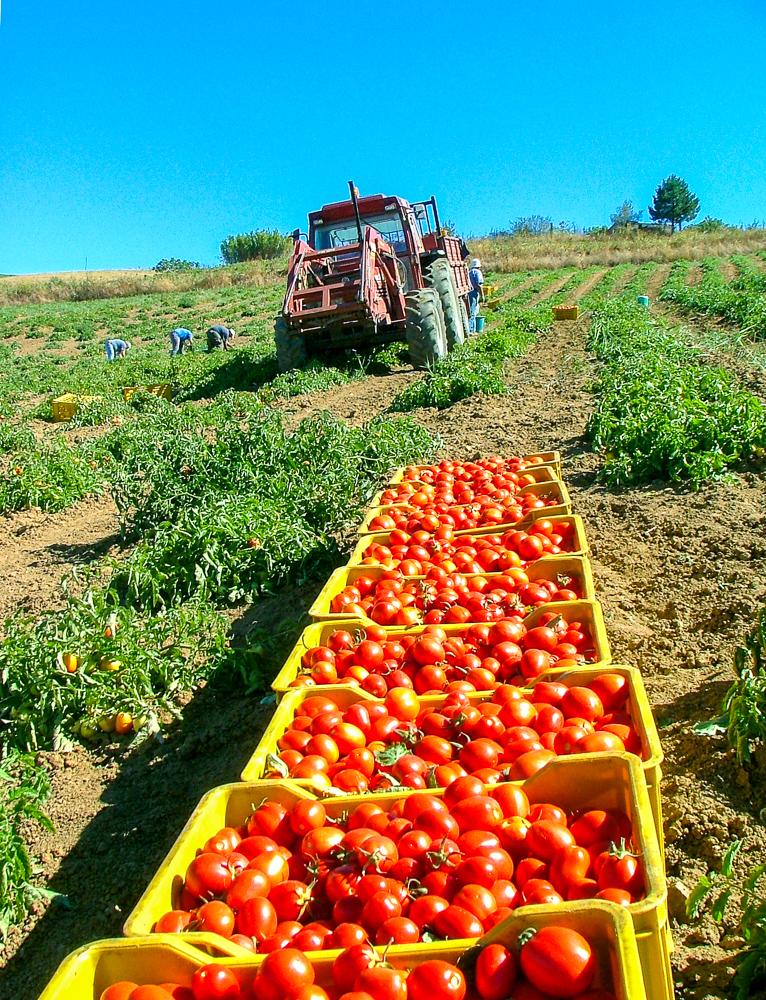 Tomatentransport