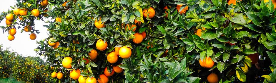 Orangenplantage1