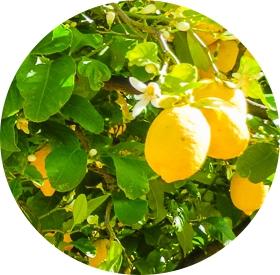 Bio-Zitronen-Militello