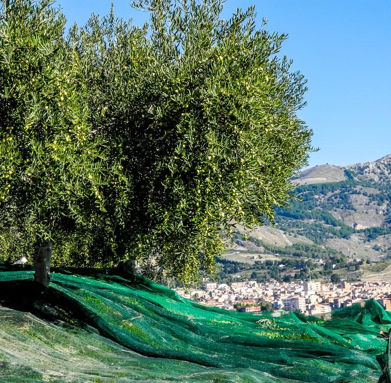 Bio-Olivenernte-Militello-5