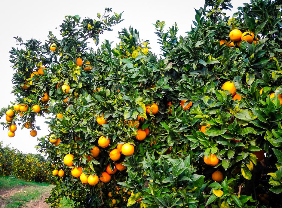 Orangenplantage-2