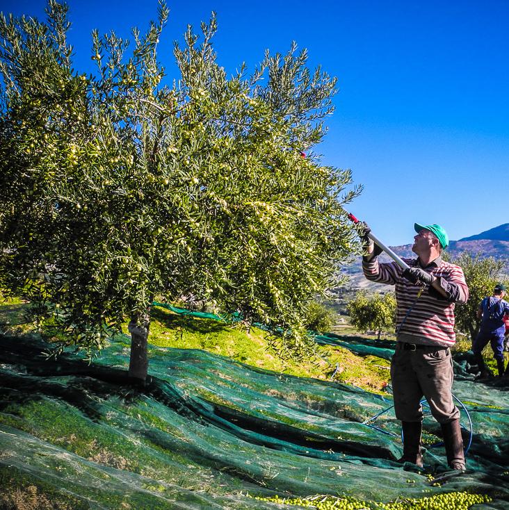 Bio-Olivenernte-Militello-2